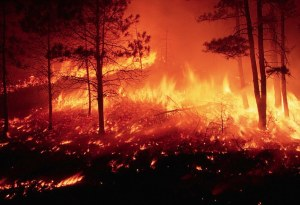 Forest fire burning out of control in a pine forest on the Mesca